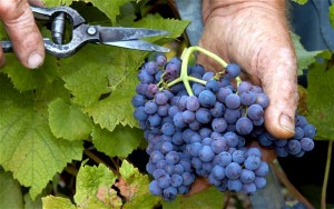 grapes-during-harvest