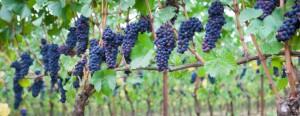 pinot-noir-grapes