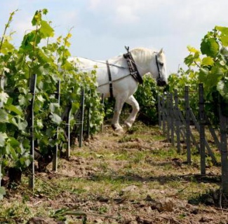 Horse power at the Louis Roederer Estate