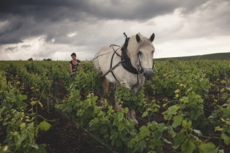 Farming sustainably, sometimes a little horse power is required at the Louis Roederer Estate