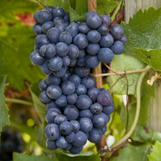 Blanc de Noirs vineyard